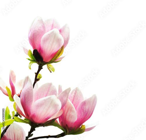 Plexiglas Magnolia Spring magnolia tree blossoms
