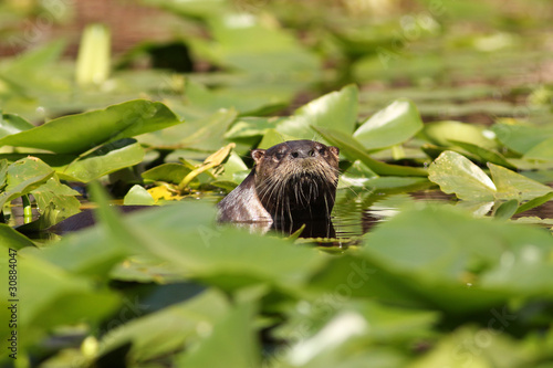 River Otter (Lontra canadensis) - Okefenokee Swamp, Georgia