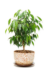 Weeping Fig (Ficus Benjamina) in Pot Isolated on White