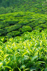 Tea Plantations at Munnar, India