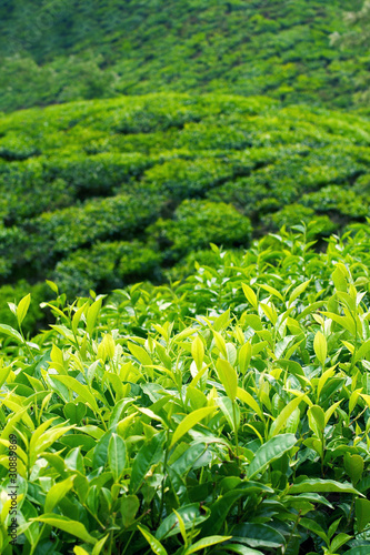 Fototapeta Tea Plantations at Munnar, India