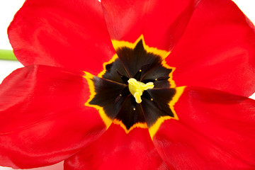 macro of open red tulip over white background
