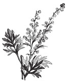 Absinthe plant, Artemisia absinthium or wormwood engraving poster