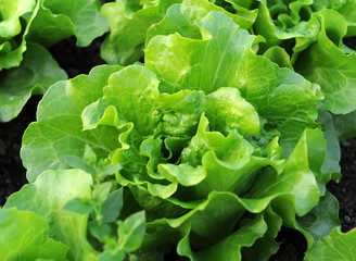 healthy lettuce growing in the soil .