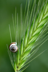 Small shell on a grass spikelet