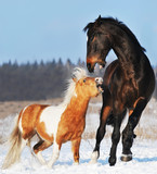 pony and horse in the winter