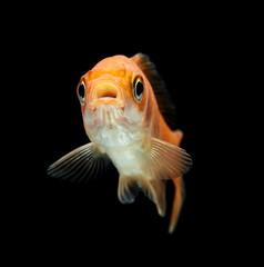 Goldfisch rotorange schwarz5