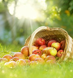 Fototapety Healthy Organic Apples in the Basket