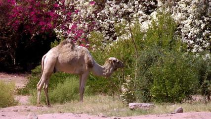 camel eats flowers