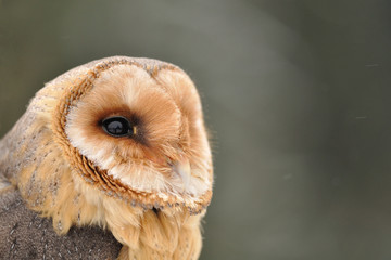 Barn owl face looking right