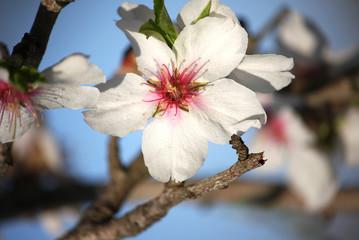 Almond blossom trees
