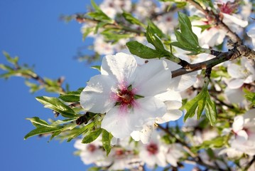 Almond blossom trees