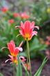 miniature tulips in flower