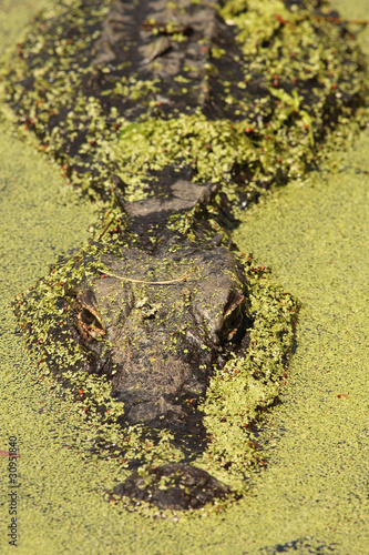American Alligator  and Duckweed - Okefenokee Swamp, Georgia