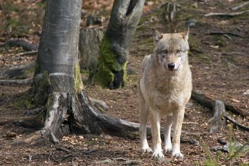 lupo nella foresta della Baviera