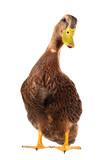 duck - Fine Art prints