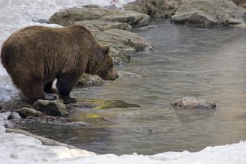 orso bruno sul lago ghiacciato