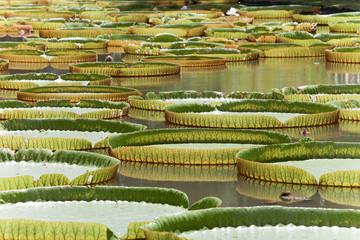 Seerosen - Mauritius - Water lilies