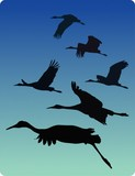 Sandhill Cranes in Flight, Bosque del Apache poster