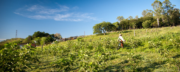 Worker on fig plantation