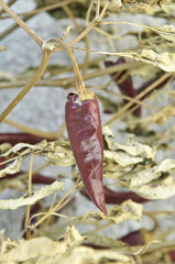 piments rouge séchés