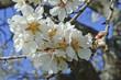 fleurs d'amandier, printemps