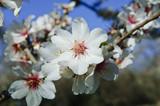 Fototapeta migdałowy - drzewo - Drzewo