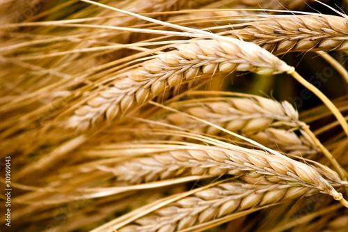 Spiked wheat closeup