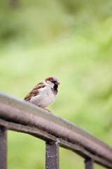 Sparrow Bird (Passer domesticus) On Bridge Rail Closeup