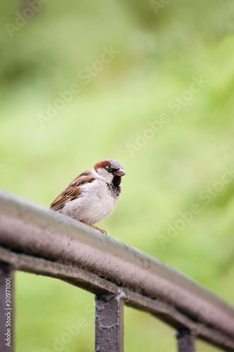 Sparrow Bird (Passer domesticus) On Bridge Rail Closeup