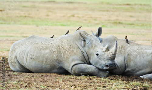 White Rhinoceros in the Masai Marra reserve in Kenya Africa