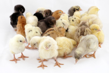 coloored chicks