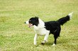 Border collie dog running