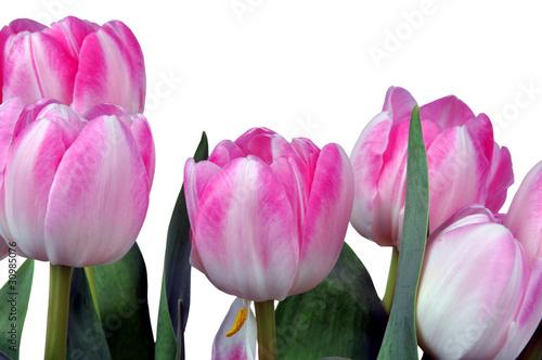 rosa tulpen fr hlingsbl her freisteller von csschmuck. Black Bedroom Furniture Sets. Home Design Ideas