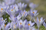 Zarte Boten des Frühlings