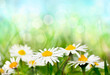 Spring daisies background
