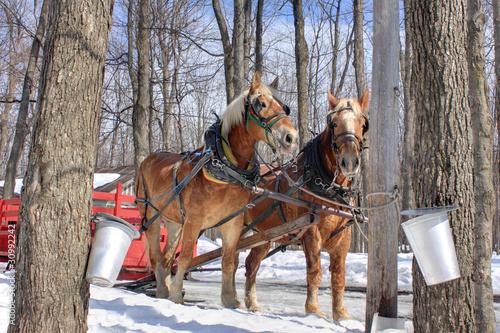 Maple Sap Buckets in Spring (Canada)