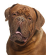 Close-up of Dogue de Bordeaux, 20 months old
