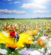 Coccinelle rouve fleurie