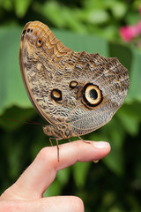 A brown butterfly sits on persons finger and does a wee