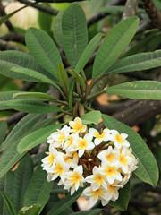 fleurs du frangipanier