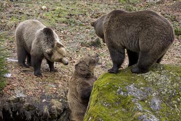 orsi bruni che litigano