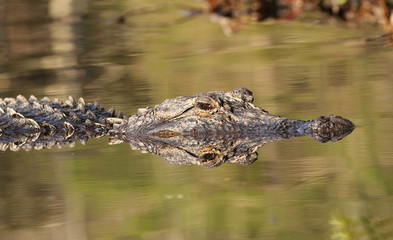 Alligator- Okefenokee Swamp Wildlife Refuge, Georgia
