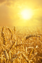 Wheat field at a golden sunset