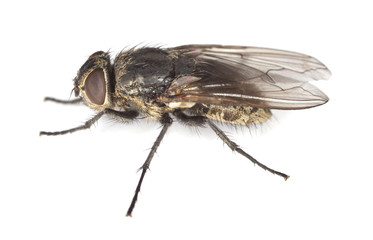 House fly isolated on white background