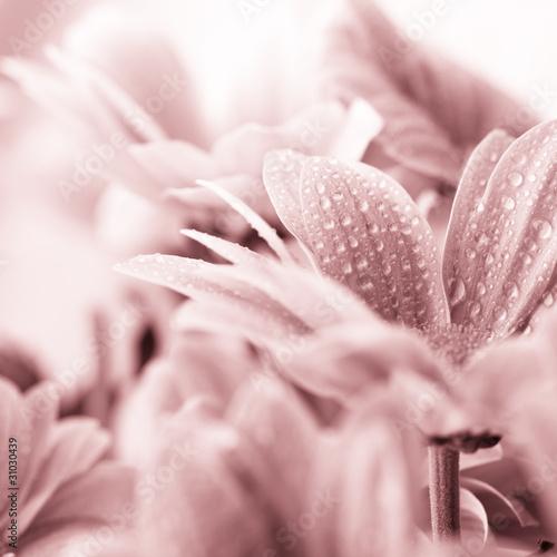 Beautiful daisy flowers closeup © B. and E. Dudziński