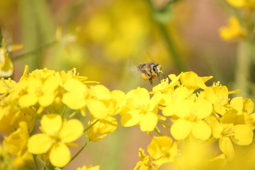 a honeybee flying on yellow flower