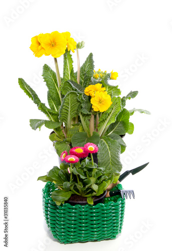yellow primula and pink daisy Bellis in a green plastic basket w