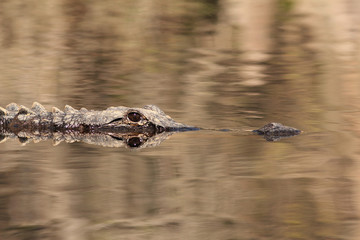 Alligator in the Suwannee River - Okefenokee Swamp, Georgia