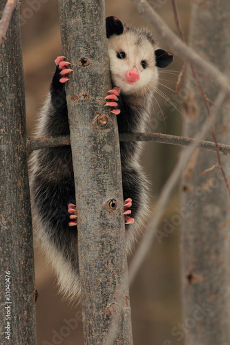 Virginia Opossum (Didelphis virginiana) Climbing a Tree